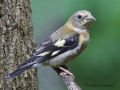 evening.grosbeak.immature2