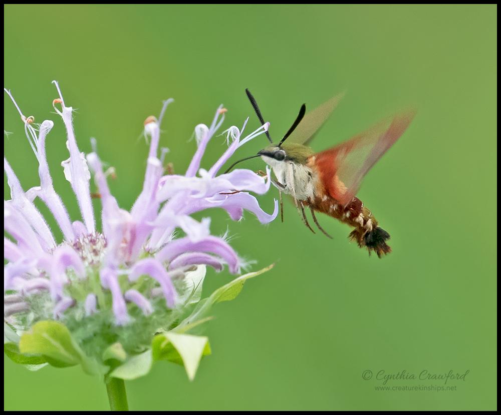 hummingbird.moth.DSC4755