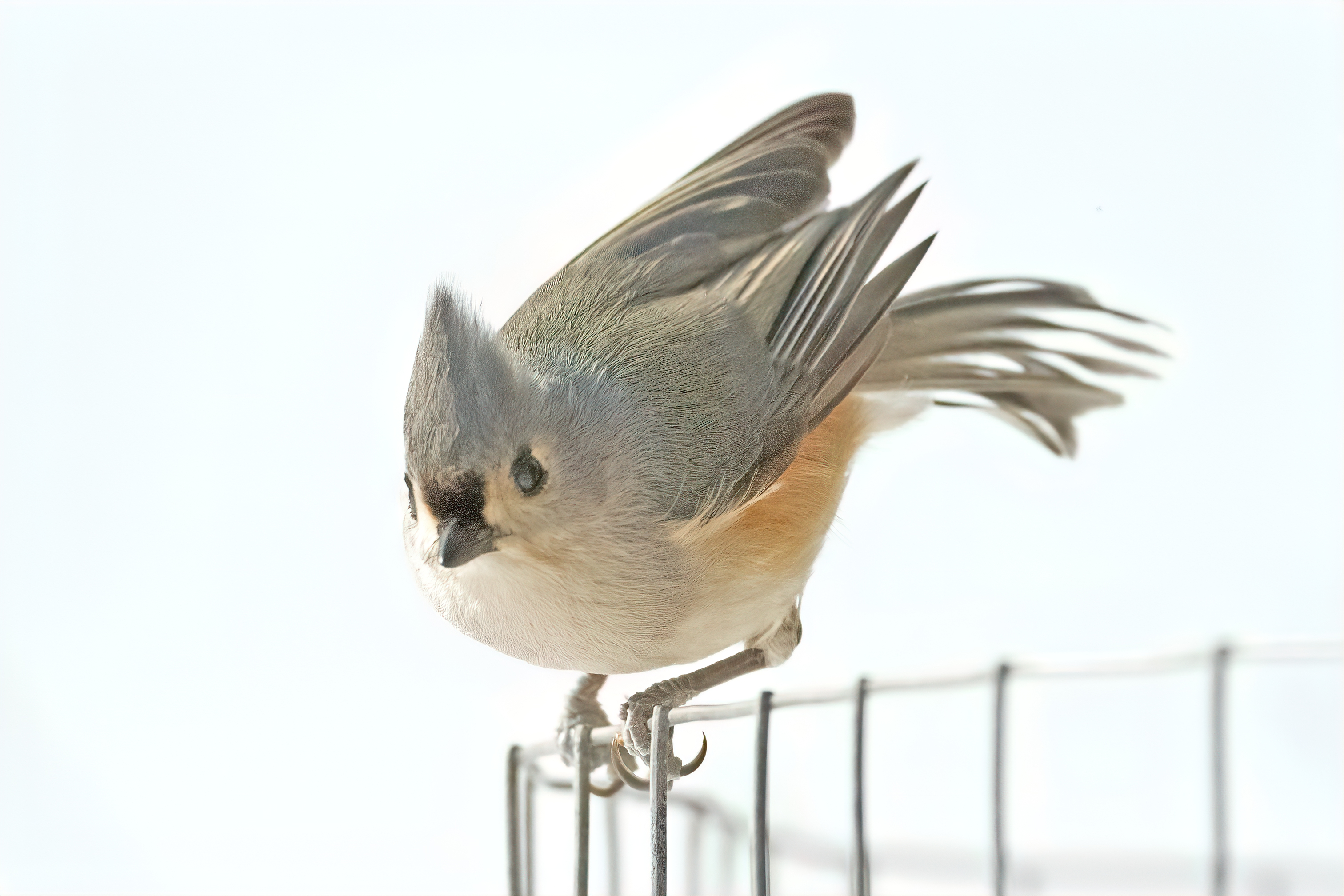 titmouse.d850_2412-studio