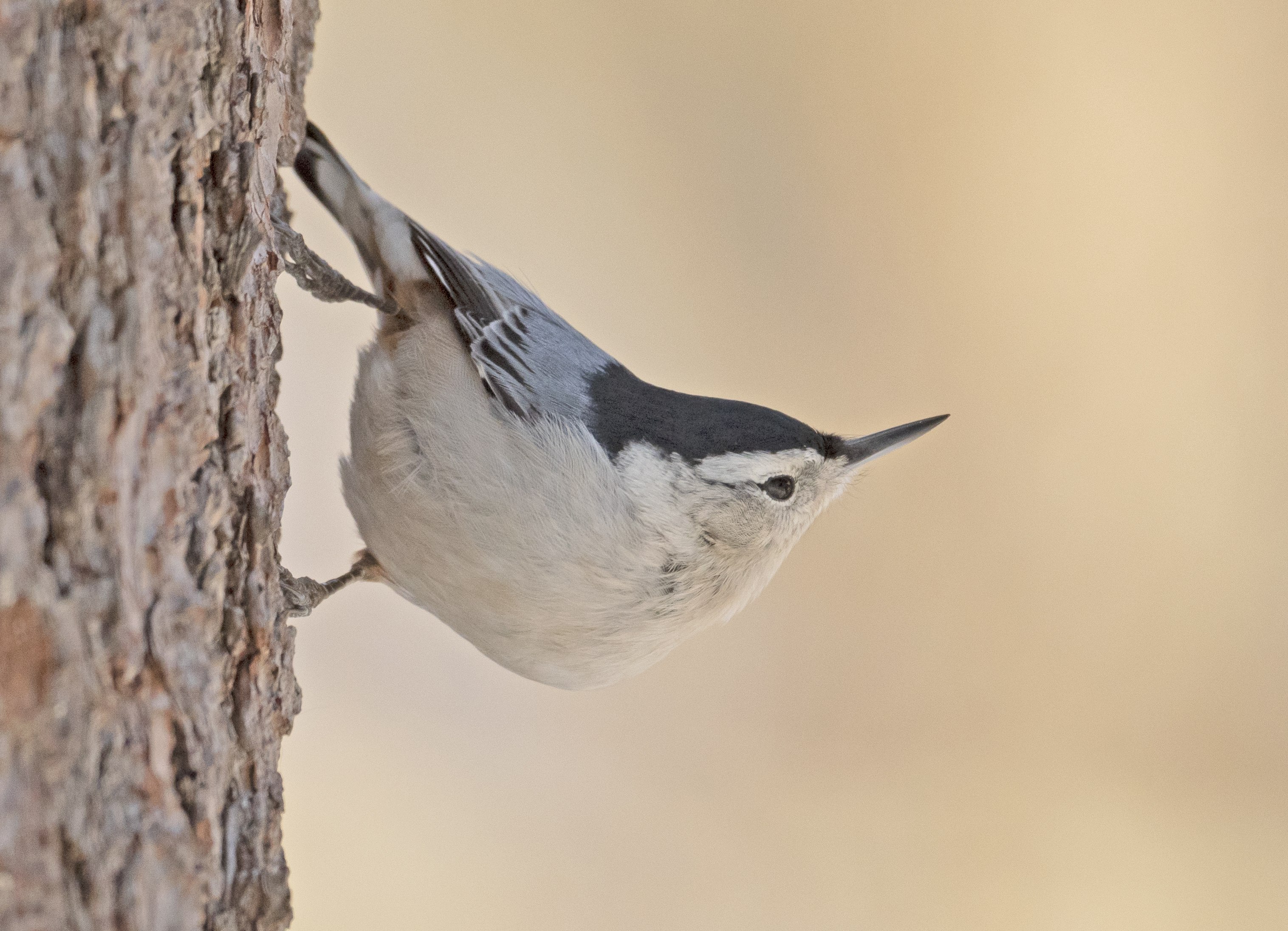 white-breaasted.nuthatch_DSC4220