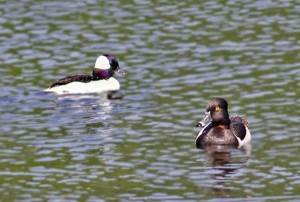 bufflehead, ring-necked