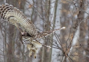barred.owl.flight_9610