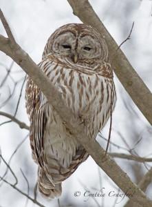 barred.owl_9662
