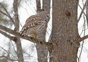 barred.owl_9713