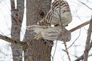 barred.owl_9714