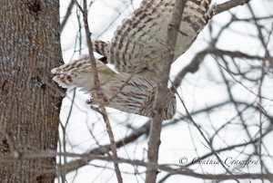 barred.owl_9715