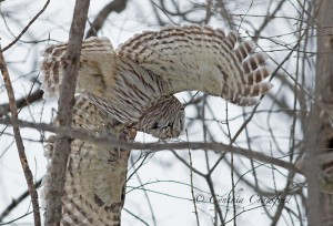 barred.owl_9716