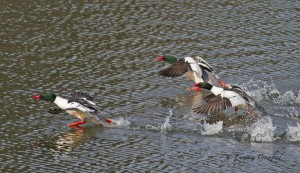 Common Mergansers (male) take-off