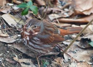 fox sparrow vermont
