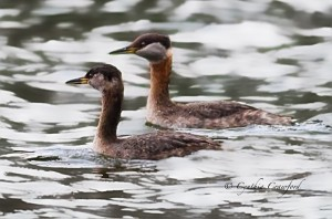 Red-Necked Grebes in Vermont