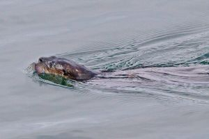 otter.fish_MG_3721.jpg