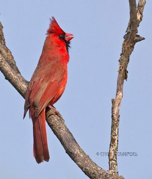 northern.cardinal.singing.jpg