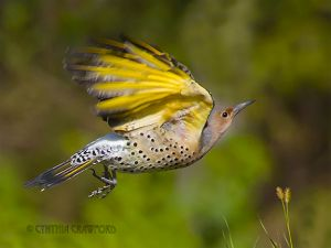 06.northern.flicker.flight.jpg