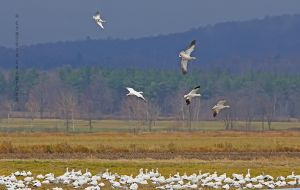 snow.geese.acrobats_3406.jpg