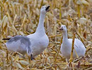 snow.geese.complain.fix2_3663.jpg