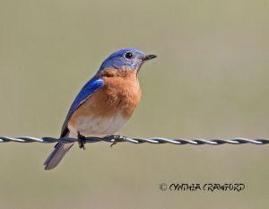 bluebird.campbell.flats_O6A0582.jpg