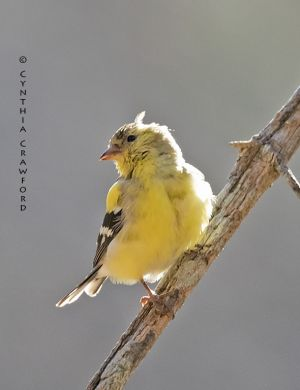 goldfinch_O6A0793.jpg