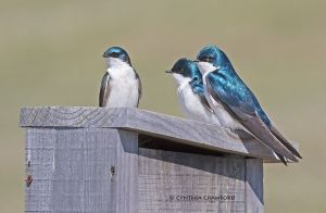 tree.swallow.trio_O6A1095.jpg