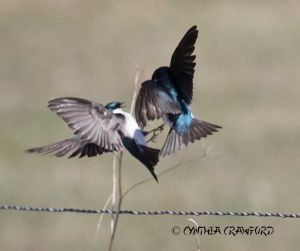 tree.swallows.fight_O6A0608.jpg