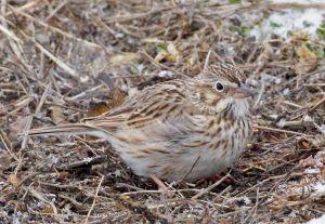 vesper.sparrow_5678.jpg