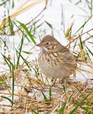 vesper.sparrow_5713.jpg