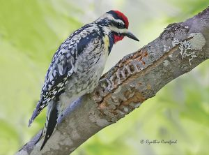 yellow-bellied.sapsucker.jpg