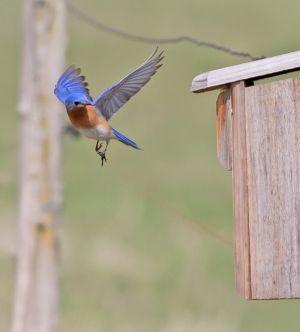 bluebird.c.crawford.jpg