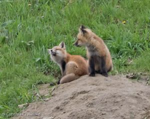 12. Fox Kits together