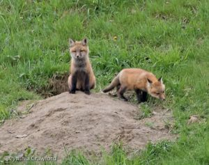 11. Fox Kits near den