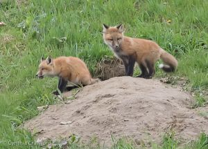 13. Fox Kits Curious