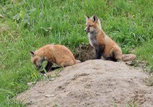 14. Fox kits
