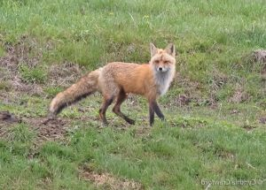 03. Red fox on the move