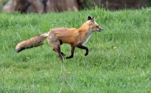 03. Red Fox running