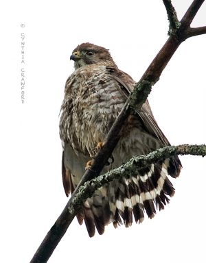 broad-winged_hawk3.c.crawford.jpg