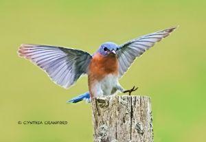 bluebird.mad.c.crawford.jpg