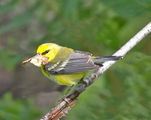 Blue-winged Warbler with leaf