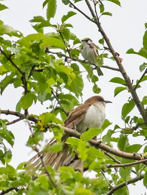Black-billed Cuckoo and Chestnut-sided Warbler2