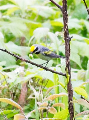 Golden-winged Warbler-male