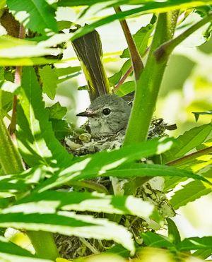 American Redstart Female nesting