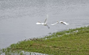 03.great.egret.chase_0763.jpg