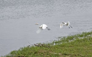 04.great.egret.chase_0764.jpg