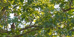 Broad-winged Hawk and Northern Flicker