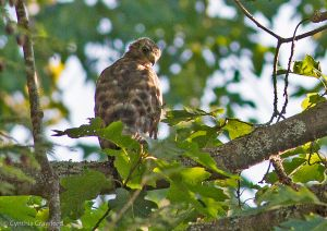 Broad-winged Hawk-Vermont