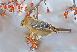 Pine_Grosbeak
