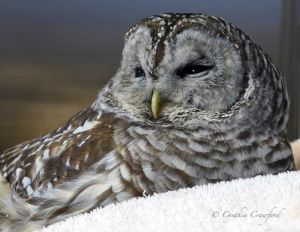 barred.owl.c.crawford.jpg