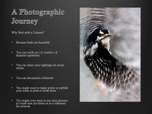 Hairy Woodpecker Flight