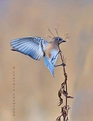 Eastern Bluebird, Lake Runnemede Windsor Vt. Nov. 32013