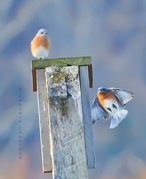 Eastern Bluebirds, Lake Runnemede, Windsor Vt. Nov. 32013