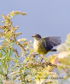 Palm-Warbler, Norwich, Vermont October 2013