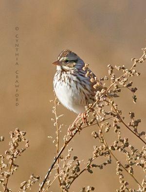 Savannah Sparrow, Windsor Vt. 11/2013